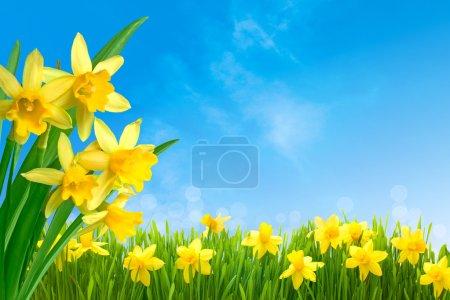 Photo pour Fleurs narcisses printanières dans l'herbe verte contre le ciel bleu ensoleillé - image libre de droit