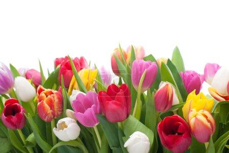 Photo pour Printemps tulipes fleurs sur fond blanc - image libre de droit