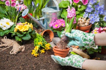 Photo pour Jardinier plantation de fleurs en pot avec de la saleté ou de la terre dans la cour arrière - image libre de droit