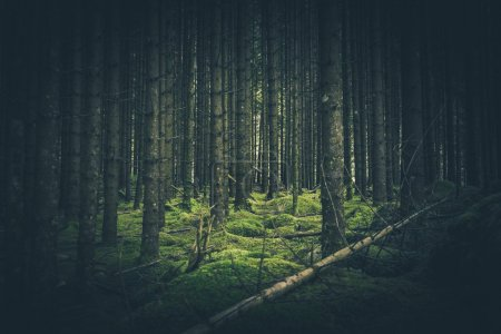 Photo pour Mossy Forest Place. In the Deep Mossy Spruce Forest. - image libre de droit