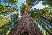 Ancient Giant Sequoias