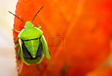 Photo pour Stink Bug Gros plan. Bug puant vert sur la feuille rouge Macro Photographie . - image libre de droit