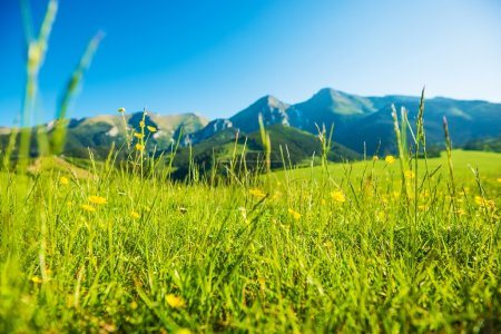 Photo for Mountains Summer Meadow. Sunny Grassy Field with Yellow Wildflowers. - Royalty Free Image