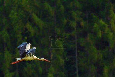 Photo pour Grand oiseau de cigogne blanche volant. Collection de photos Oiseaux sauvages . - image libre de droit