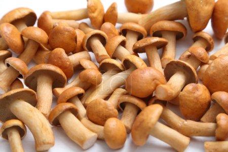 Edible bovine bolete mushrooms.