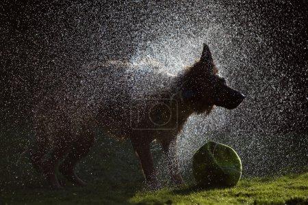 """German Shepherd Shaking Water off its Body, """"low-key"""""""