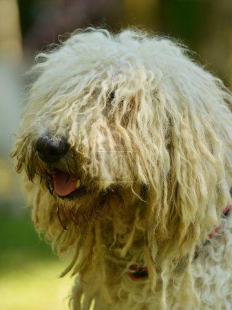 komondor hungarian sheep dog