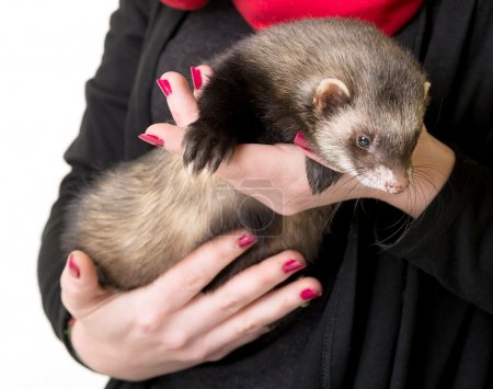 Ferret in arms