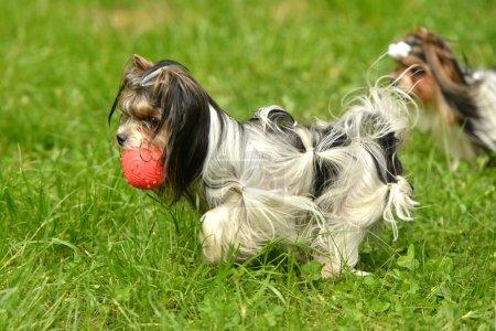 Biewer-Yorkshire terriers