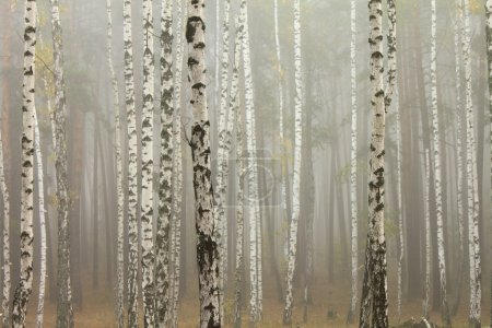 Photo pour Brouillard dans la forêt de bouleaux, fond naturel - image libre de droit