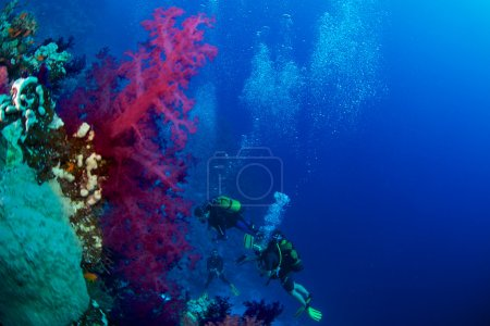 Alcyonaire of Red Sea