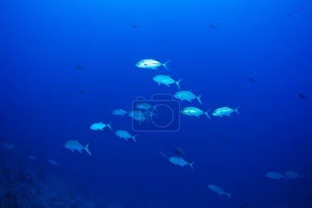 Bigeye trevally fish
