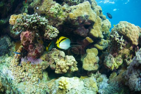 Bluecheek butterflyfish of Red Sea