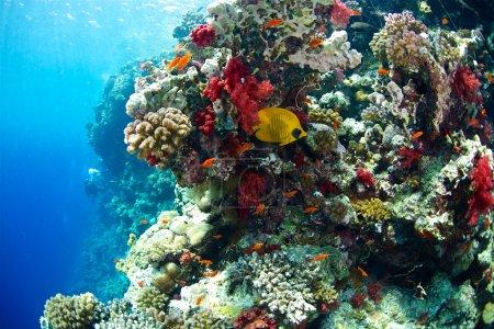 Bluecheek butterflyfish of Red Sea