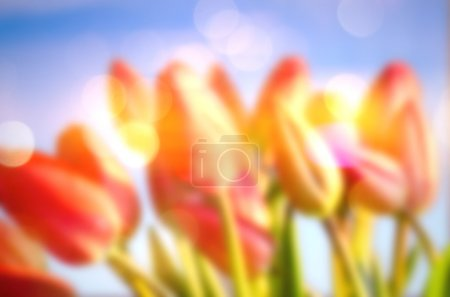 Soft Focus of Brightly Colored Tulips