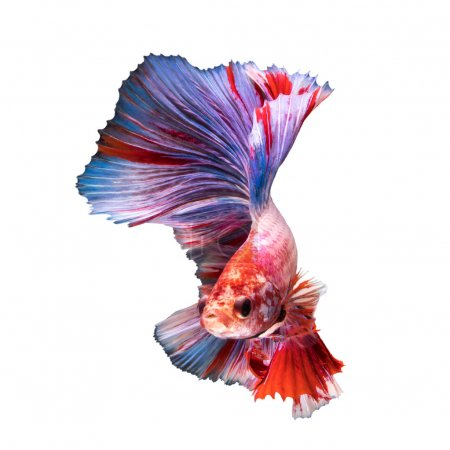 Photo for Double Tail Betta fish, siamese fighting fish on white background - Royalty Free Image