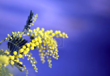 branch of mimosa flowers yellow in March and the blue sky