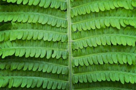 Fresh Fern leaf