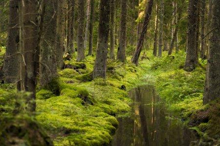 Photo pour Belle forêt verte avec fossé d'arbres réfléchissant l'eau - image libre de droit