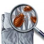 Bed bug or bedbug infestation concept as a magnifi...