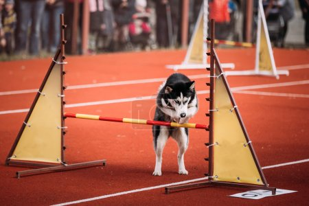 Young Funny Husky dog jumping outdoor at agility