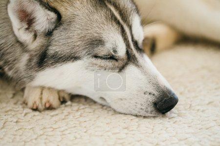 Gray Adult Siberian Husky Dog sleeping in his bed