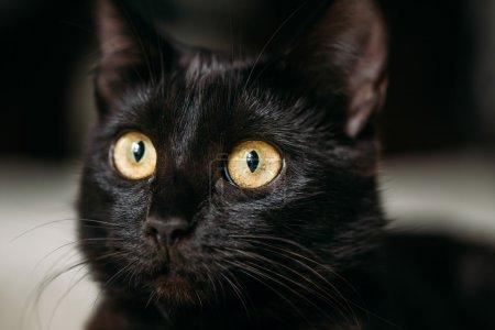 Close Up Portrait Peaceful Black Female Cat
