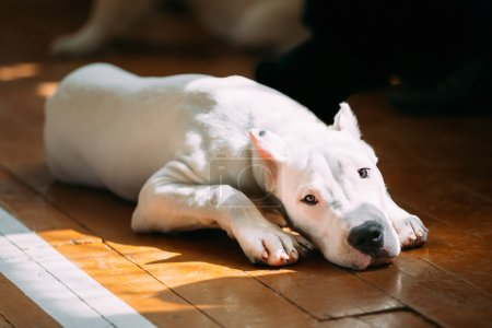 Photo for The Dogo Argentino also known as the Argentine Mastiff is a large, white, muscular dog that was developed in Argentina primarily for purpose of big-game hunting, including wild boar. White puppy dog - Royalty Free Image