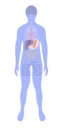 Stomach highlighted on the silhouette of a human
