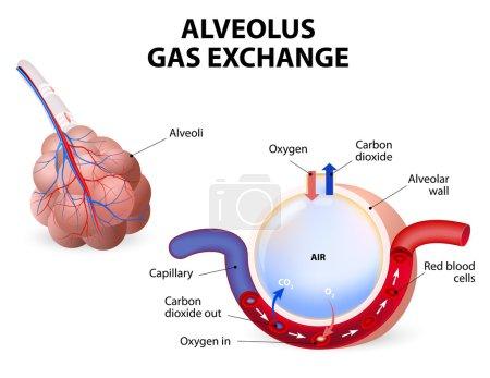 Alveolus. gas exchange. Pulmonary alveolus. alveol...