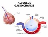 Alveolus gas exchange