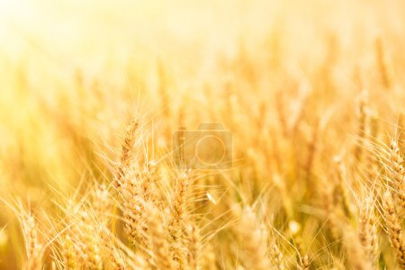 Photo for Summer wheat field on a sunny day. - Royalty Free Image