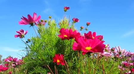 Krásné růžové cosmos květy a obloha
