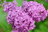 Šeřík vulgaris - jarní kvetoucí rostlina - květ detail