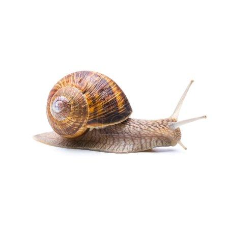 Photo pour Un gros escargot Achatina fulica brun s'éloigne isolé sur fond blanc. Pris dans Studio avec une marque 5D III . - image libre de droit