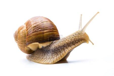 Photo pour Un gros escargot brun isolé sur fond blanc. Pris dans Studio avec une marque 5D III . - image libre de droit