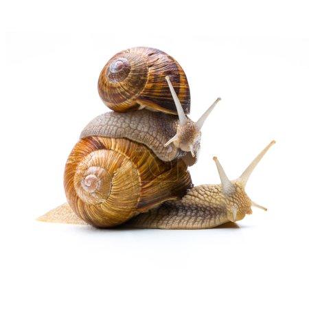 Snails Piggybacking