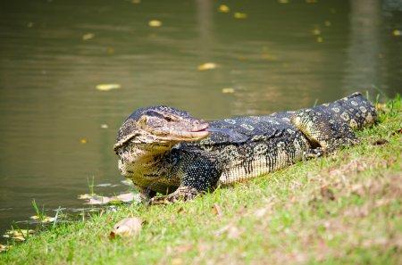 The Varan (Lizard) on the grass in the  Ayutthaya, Thailand