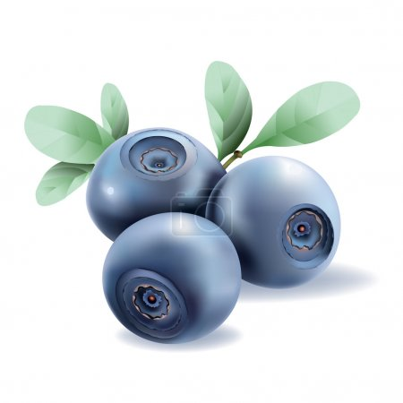 Blueberries. Vector realistic illustration on white background.