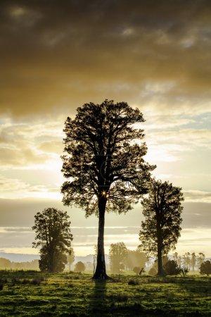 Big tree at sunset on New Zealand's south island