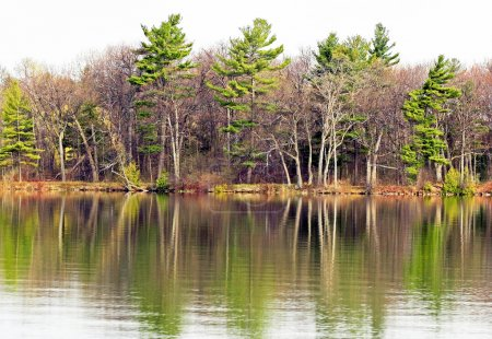 Beautiful tall Evergreen trees reflected in Lake waters in Springtime