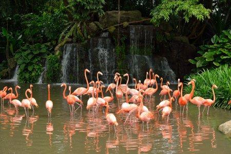 Close up of caribbean flamingos - Phoenicopterus ruber