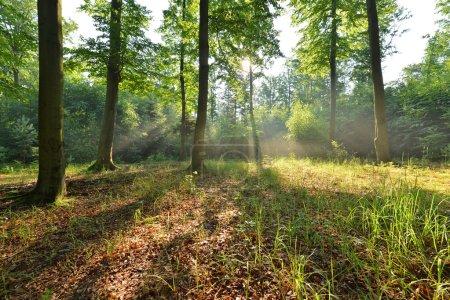 Photo pour Matin d'automne dans la forêt, les rayons du soleil qui brille à travers les arbres - image libre de droit