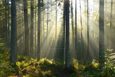 Photo for Autumn morning in the forest,sun's rays shining through the trees - Royalty Free Image