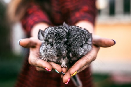 Chinchilla Baby Kids sitting on your hands