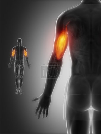 Photo for Triceps on Muscles anatomy map - Royalty Free Image
