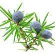Juniper twig with berries isolated on white backgr...