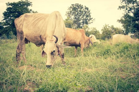 Herd Of Cows in Farmland