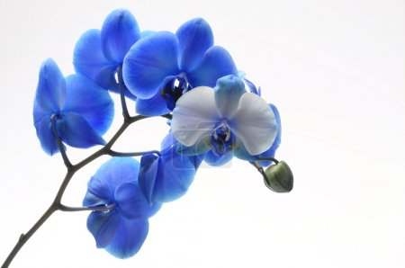 Blue flower orchid