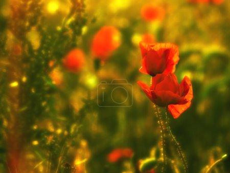 Photo pour Fleurs de pavot dans la matinée ensoleillée - image libre de droit